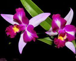 Resultado de imagem para tipos de orquideas