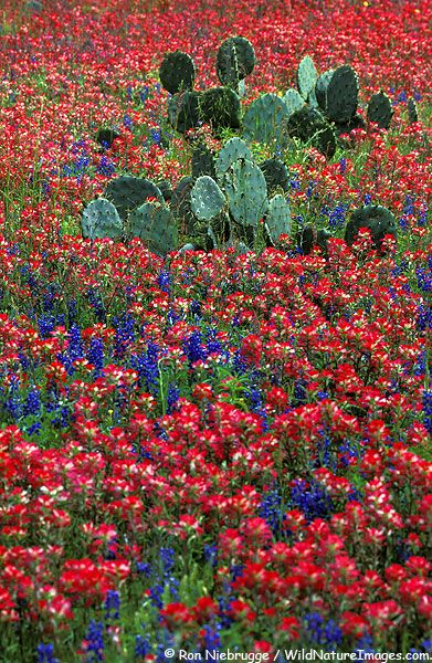 Cactus in Field of Indian Paintbrush and bluebonnets, Central Texas