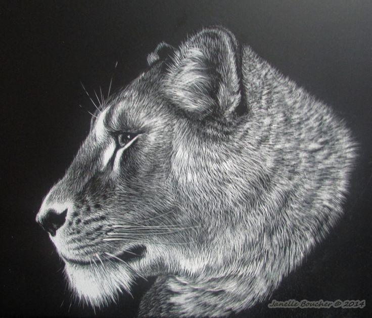 New sratchboard art . Lioness ~  Thank you to Stuart Pike for his amazing refernce photo on ARP