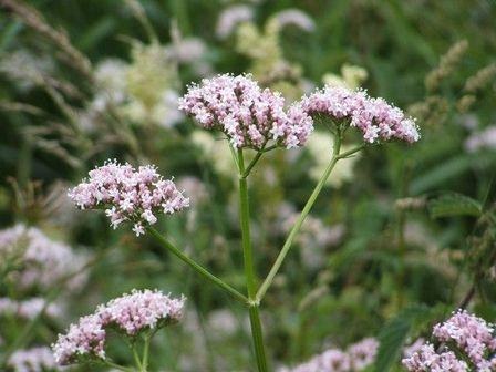 Using Valerian as a Natural Sleep Aid | Suite101
