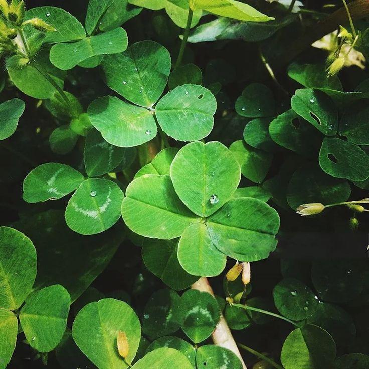 """Foto: O Trevo de Quatro Folhas simboliza, especialmente, a sorte. À cada folha é atribuído um significado: esperança, fé, amor e sorte.  Também conhecido como """"trevo da sorte"""", esse nome decorre da dificuldade em ser encontrado, ao contrário do trevo de três folhas (este bastante comum).  Antigamente se acreditava que a pessoa que encontrasse um trevo de quatro folhas teria chance de ver as fadas e, consequentemente, ter muita sorte e sucesso na vida.  Na Mitologia Celta, os Druidas…"""