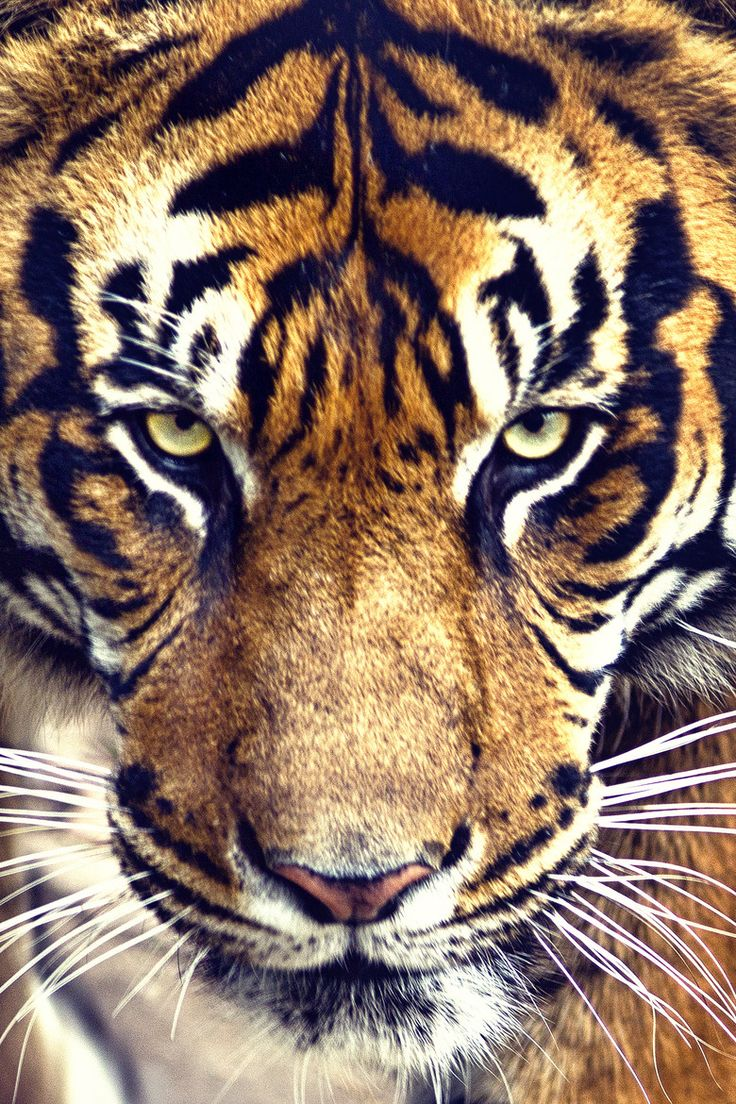 Save the tigers, share the song, and donate:) #EndangeredSong http://www.firedrive.com/embed/AF2CCD0858FAEC09