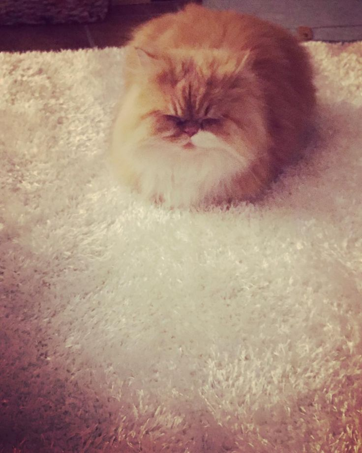 Love my new carpet 😸😸 #catslife #catstagram #catsofinstagram #cats #cutecat #cutecatcrew #kitten #enjoying #lovemylife #fluffy #somuchfluff #persian #persiancat #persiankitten #carpet #newcarpet #jysk #jysknl #ginger #gingercat
