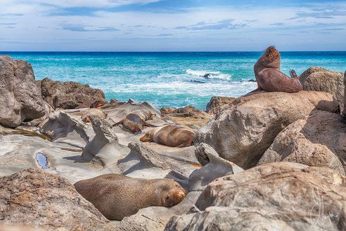 Wild Seals at Cape Palliser, New Zealand.