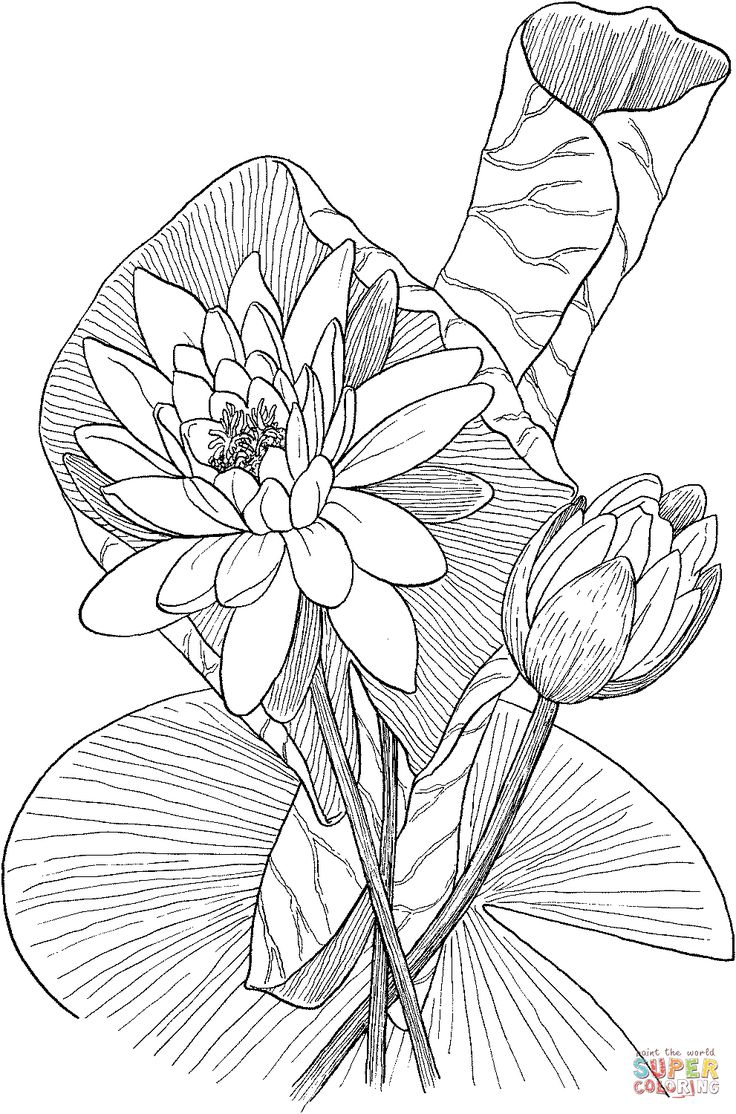 Nymphaea odorata or Fragrant Water Lily coloring page