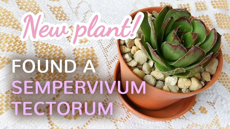 New Plant | Found A Sempervivum Tectorum Today - 14.04.2017