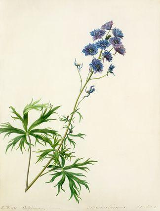 Margaret Meen -- Delphinium elatum -- Margaret Meen -- Artists -- RHS Prints