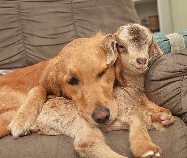 This Dog Thinks She Is The Mother Of These Baby Goats, Can't Stop Cuddling Them | Bored Panda