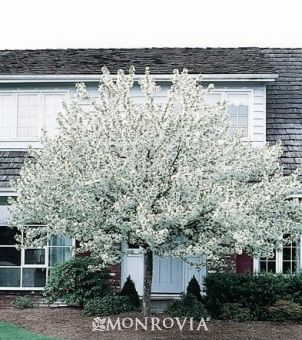 Malus x 'Spring Snow' - Spring Snow Crabapple. This small to medium sized tree has no fruit but an abundance of white blooms in spring. Hardy, fast growing with dense green foliage, this tree is an excellent choice for small yards, screening or for planting close to decks, patios and walkways. Great choice for gardeners with pets.