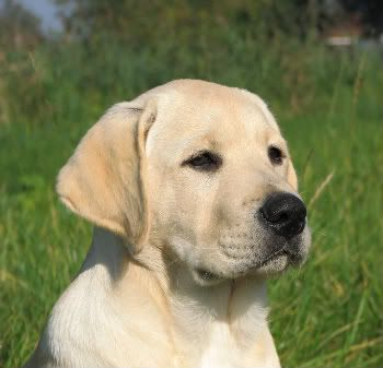 English Labrador Retriever, this looks a lot like my baby!