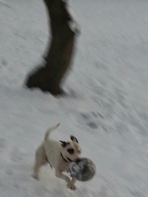 Stratford terrier pit bull