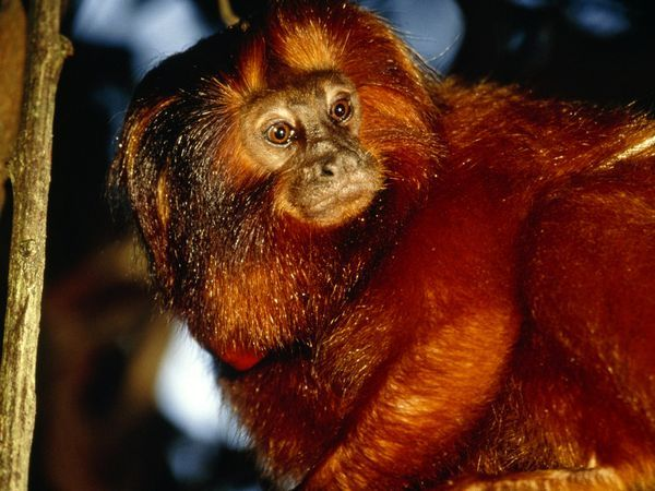 The critically endangered golden lion tamarin is named for its striking orange mane. Golden lions live primarily in the trees. They sleep in hollows at night and forage by day while traveling from branch to branch. Long fingers help them stay aloft and snare insects, fruit, lizards, and birds.