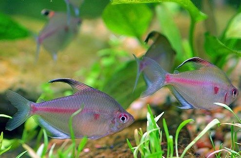 Peces exoticos de agua dulce para pecera peces de for Peces de agua dulce para peceras