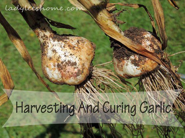 Harvesting-And-Curing-Garlic-13