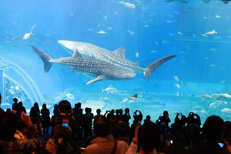 Jinbei Shark