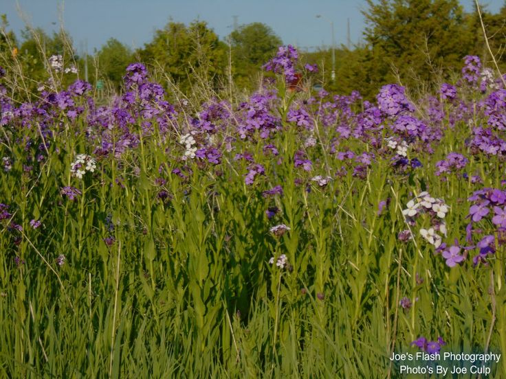 A bunch of Wildflowers at Riverside Park Belleville Ontario
