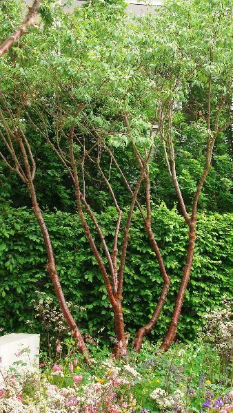 Prunus Serrula Multistem, Ornamental Trees, Paramount Plants and Gardens - for sale online with nationwide delivery UK