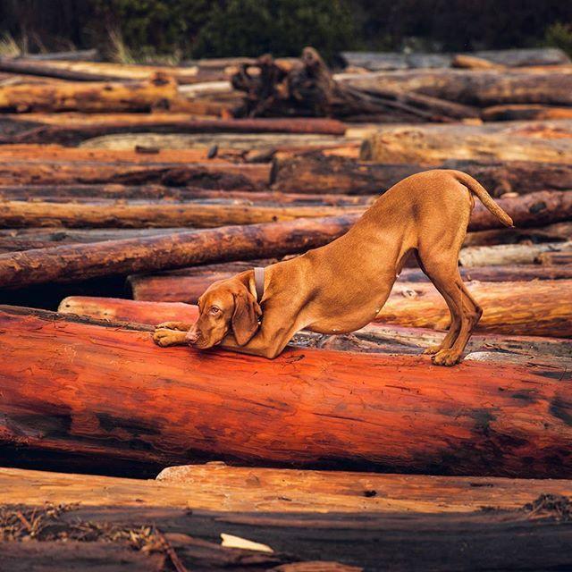 My hump my hump my hump my hump. Happy #humpday ! #weeklyfluff #dogsonadventures