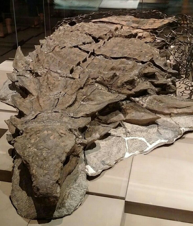 Some 110 million years ago, this armored plant-eater lumbered through what is now western Canada, until a flooded river swept it into open sea. The dinosaur's undersea burial preserved its armor in exquisite detail. Its skull still bears tile-like plates and a gray patina of fossilized skins.