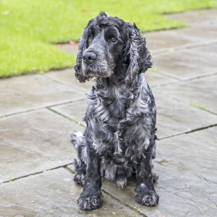 Stan was very interested in some birds playing in the bush this morning. Just sat and watched them for ages. Where's Da Birdie | by Anthony de Schoolmeester | [Stan is a blue roan English Cocker Spaniel.[ #pets