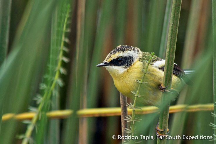 Peeking into the outer world from the protection of its swampy home, a juvenile Many-coloured Rush Tyrant, Tachuris rubrigastra briefly explores the surroundings before disappearing back into the safety of the reed bed and parental care in a river in Chiloe Island in Lake District, Chile. A tiny and colourful tyrant flycatcher of wetlands, it is always a lovely spectacle to watch it moving and hunting among the vegetation.   http://bit.ly/1hGbe32  #birding #Chile #wildlifephotography