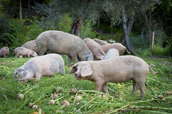 bísaro pork