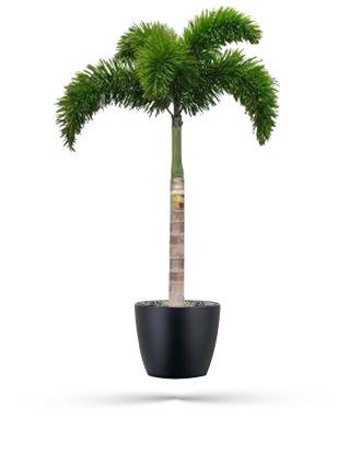 event-plants-foxtail-palm