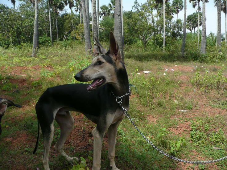 Kanni dog photo   Kanni/Chippiparai Dog - A beautiful Collection   Chippiparai Dog