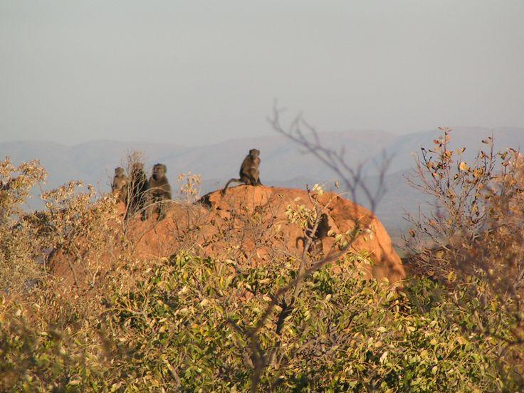 Baboons at Thaba Khaya http://www.thabakhayalodge.co.za/