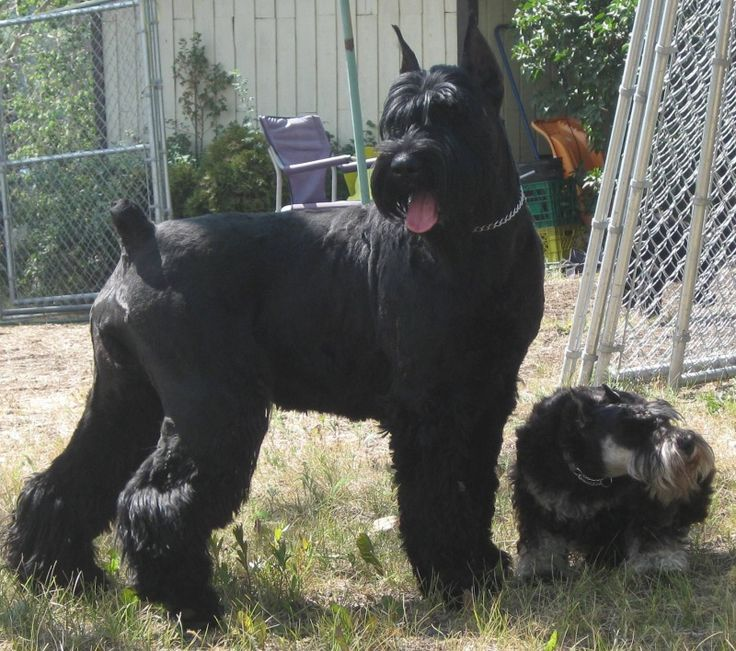 Giant Schnauzer Puppies Google Search Sssschnauzers