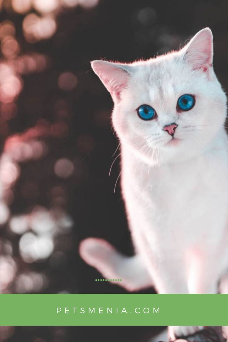 White Cats Breeds Blue Eyes