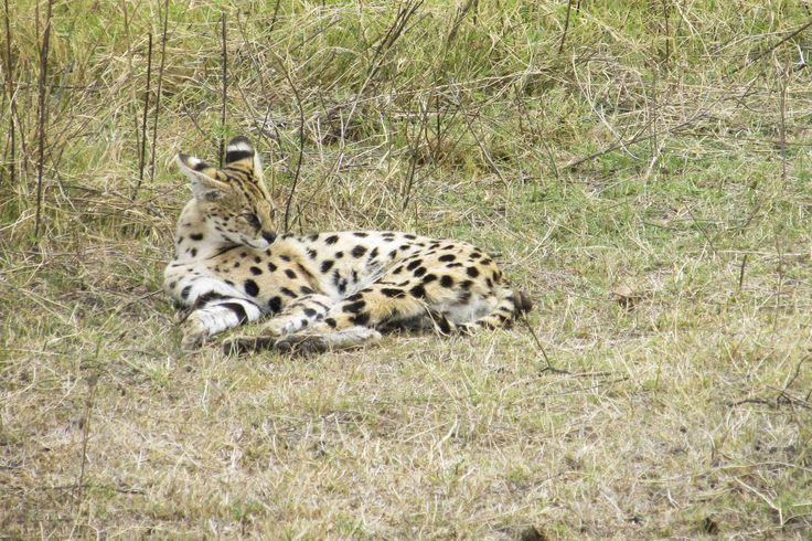 Serval in the Ngorongoro Crater, #Tanzania. #Africa #Travel #Wildlife #weknowbecausewego #safari
