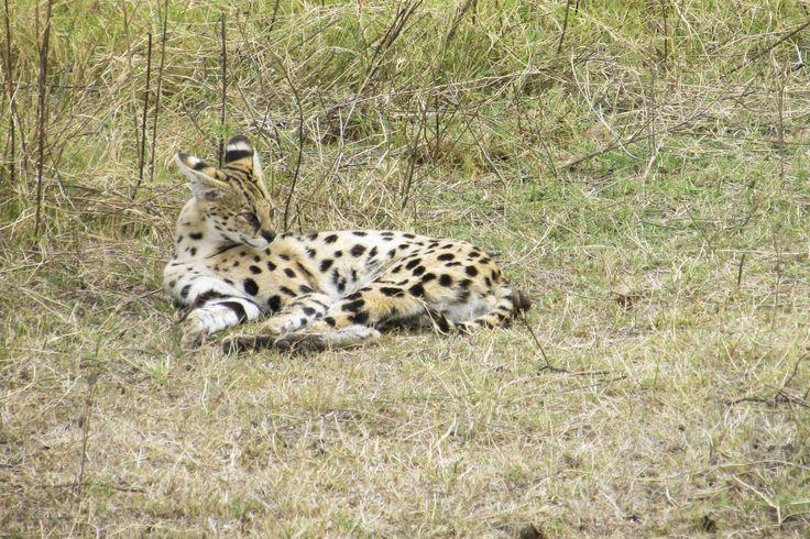 Serval in the Ngorongoro Crater, #Tanzania. #Africa #Travel #Wildlife #weknowbecausewego #safari