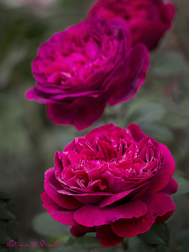 Rosen versetzen. 10 bewährte Tipps für Rosenfreunde.