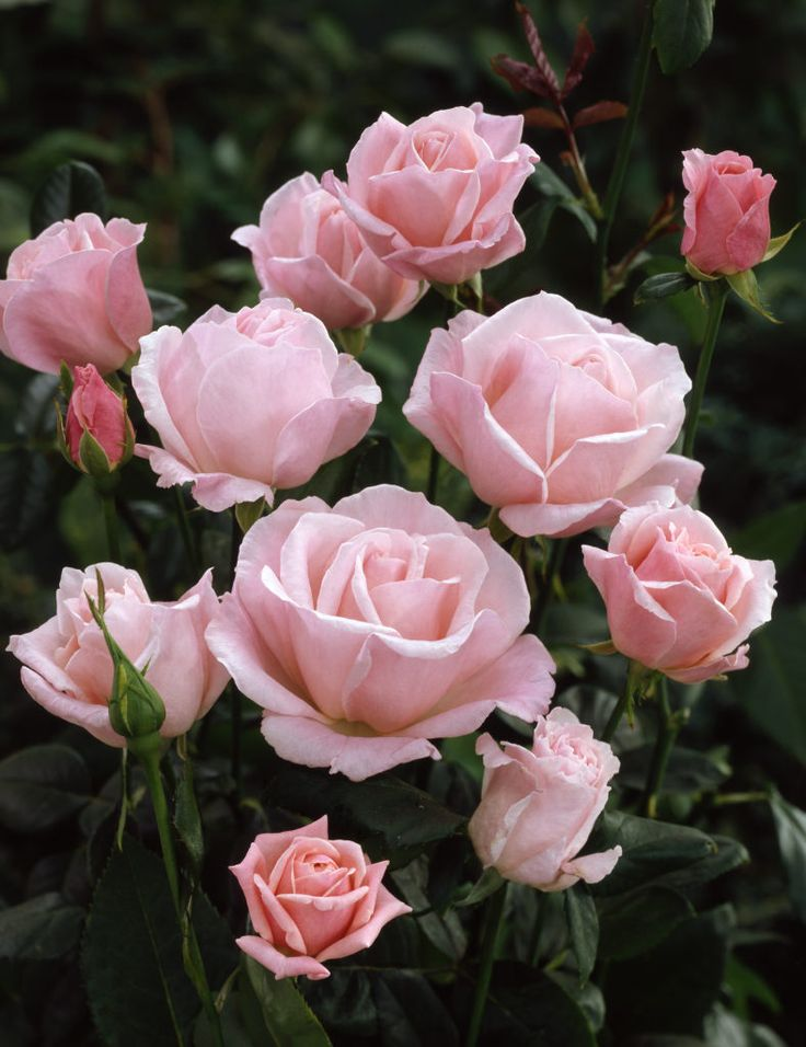 Rose Queen Elizabeth Rosa Plants Flowers Light Pink