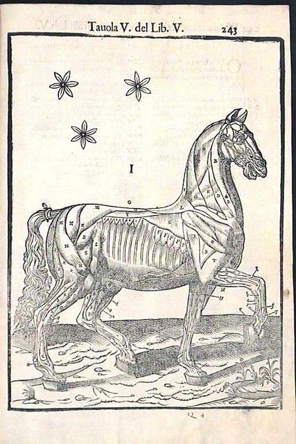 Carlo Ruini Musculature of a Horse (1598)