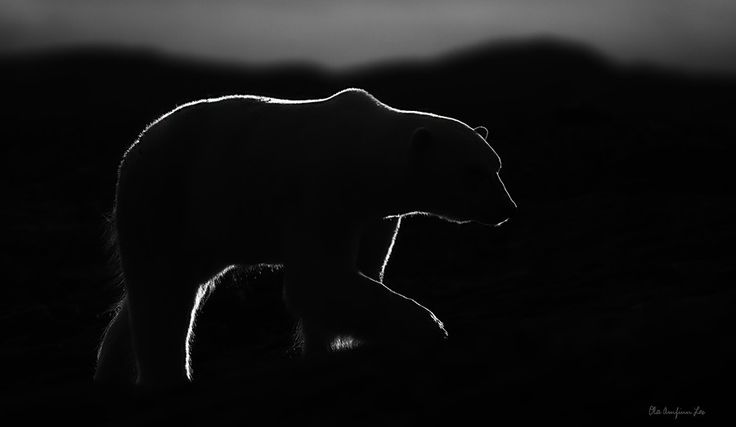 Polarbear in black and white by Ola Loe on 500px