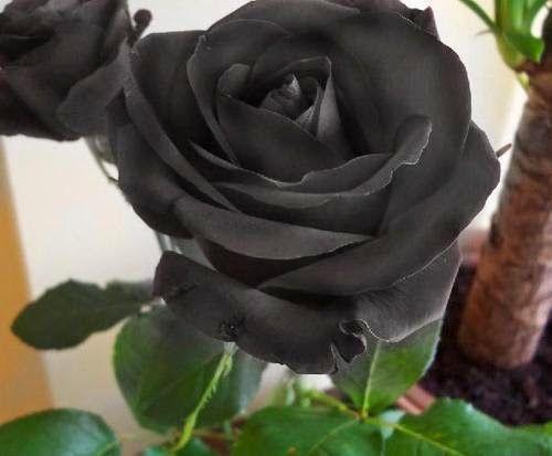 Flores Negras, parte 4