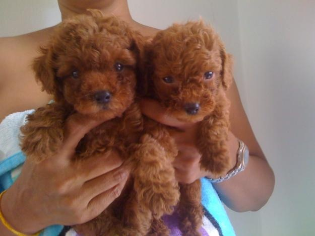 1000+ images about Toy Poodle Puppies on Pinterest ...