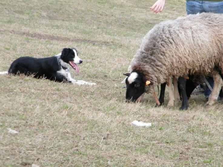 border collie Asheera Banataj Wind sheep-herding training