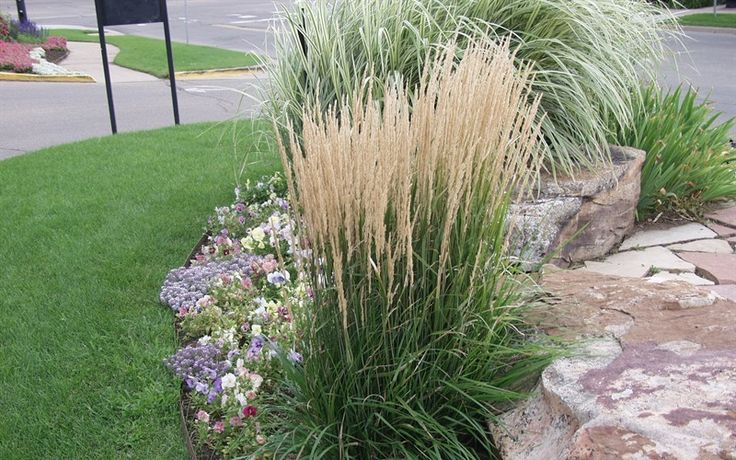 Feather reedgrass the most popular ornamental grass for 6 foot tall ornamental grass