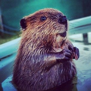 And this little guy has the most kissable little paws on Earth. | 19 Reasons Baby Beavers Are The Most Underrated Woodland Critters