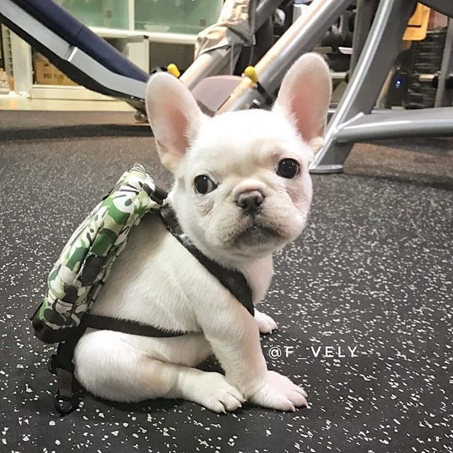 @f_vely  If you ain't giving me treats, I'm going to grandma's... ❤️ • • • • • • • • •  #frenchies1 #puppyvideo #cutefrenchie #cutenessoverload #bullylife #petsvideo #animalvideos #puppylove #bullygram #lovemyfrenchie #frenchiegram #dogsofinsta #cutevideo #relaxing #dogsofinstgram #videooftheday #chill #thefrenchielove #frenchiepetsupply #naptime #buzzfeedanimals #animalvideo #pupflix #instagoods #ellentube #bestwoof #frenchie #buhi #frenchbulldog #jmarcoz