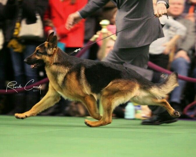 Lockenhaus Rumor has it, Best of breed 2015 Westminster dog show