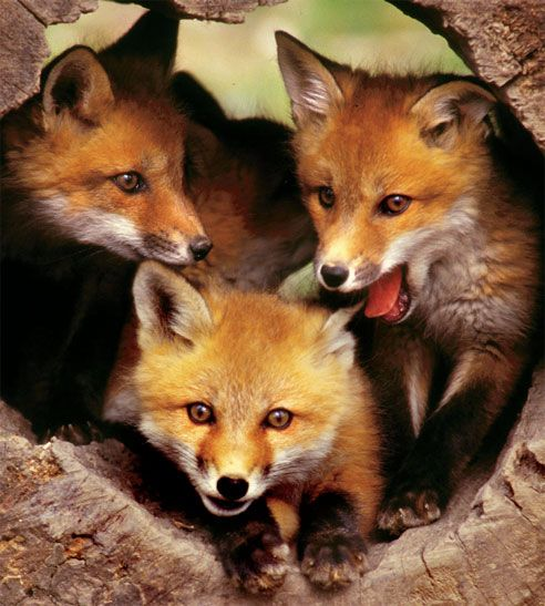 Red Fox Cubs | West Virginia State Wildlife Center