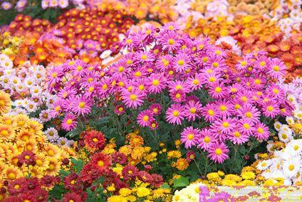 Chrysanthemen (Chrysanthemum) Die Chrysanthemen gehören, wie Margeriten und Astern, zu den Korbblütern. Die aus Ostasien stammenden Pflanzen sind sehr beliebte Zierpflanzen, da diese recht einfach zu kultivieren sind und ausdauernd blühen. In Europa wird diese seit Mitte des 19. Jahrhunderts sowohl als Zimmer-, als auch als Gartenpflanze genutzt. Ebenso ist sie als Balkonpflanze sehr gut geeignet. Im Handel sind viele unterschiedliche Züchtungen erhältlich, die in Wuchsform und Blütenfarbe…