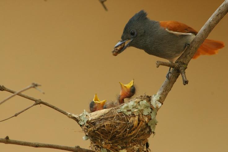 Paradise Fly catcher dad feeding babies