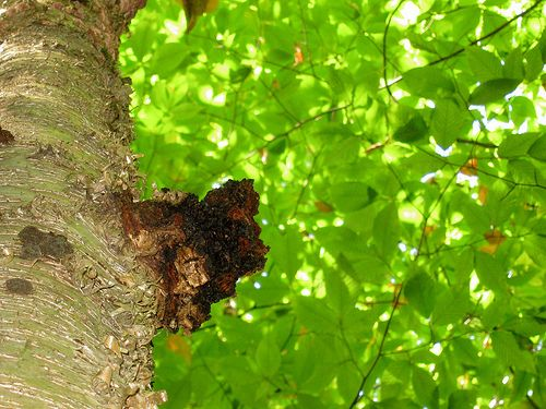 La cure de sève de Bouleau En cure printanière, la sève de bouleau est réputée éliminer en profondeur les toxines accumulées durant l'hiver. Ses propriétés sont décuplées lorsqu'elle est pure à 100 % et qu'elle est consommée très peu de temps après avoir...