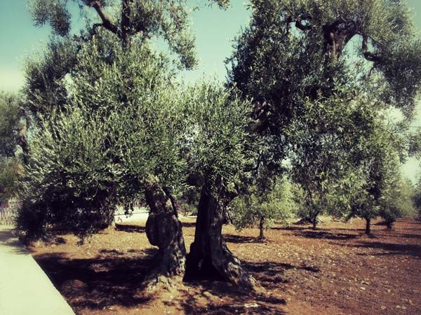 Die mächtigen Ölbäume Apuliens.