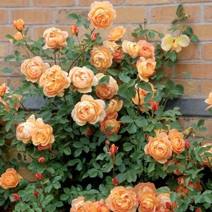 lady of shalott roses | Lady of Shalott rose from David Austin, stunning ... | Home: Landscap ...